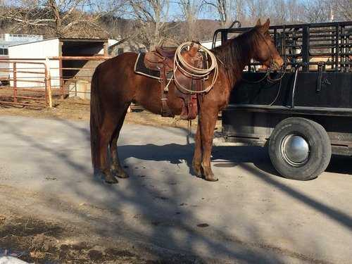 Gentle ranch gelding just in time for calving